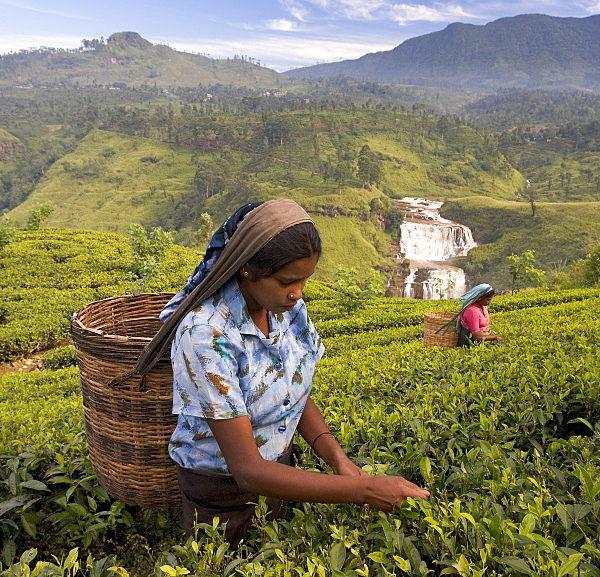 Kandy Day Tours - Nuwara Eliya Tea Pickers