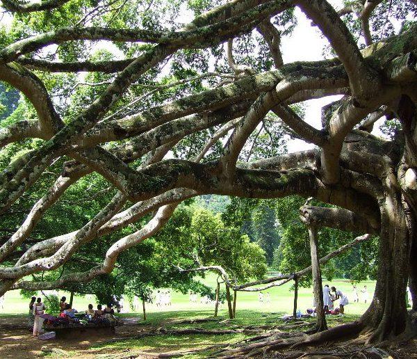 Kandy Day Tours - Peradeniya Botanical Gardens